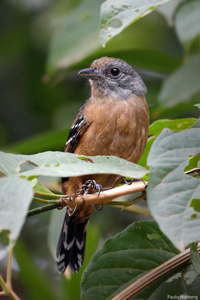 Thamnophilus caerulescens<br /> Choca-da-mata fêmea<br /> Variable Antshrike female<br /> Batará plomizo - Viro'o guasu
