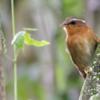 Conopophaga lineata<br /> Chupa-dente<br /> Rufous Gnateater<br /> Chupadientes - tokotoko