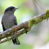 Pachyramphus polychopterus<br /> Caneleiro-preto<br /> White-winged Becard<br /> Anambé negro - Anambe hû