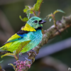 Tangara seledon<br /> Saíra-sete-cores<br /> Green-headed Tanager<br /> Tangará arcoiris - Sai hovy