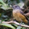 Dysithamnus xanthopterus<br /> Choquinha-de-asa-ferrugem fêmea<br /> Rufous-backed Antvireo female<br /> Batarito dorsirrufo