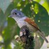 Dysithamnus xanthopterus<br /> Choquinha-de-asa-ferrugem<br /> Rufous-backed Antvireo<br /> Batarito dorsirrufo