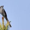 Muscipipra vetula<br /> Tesoura-cinzenta<br /> Shear-tailed Gray Tyrant<br /> Viudita coluda