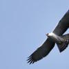 Spizaetus melanoleucus<br /> Gavião-pato<br /> Black-and-white Hawk-Eagle<br /> Águila viuda - Taguato