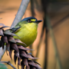Todirostrum poliocephalum<br /> Teque-teque<br /> Yellow-lored Tody-Flycatcher<br /> Titirijí fronte amarilla