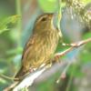Haplospiza unicolor<br /> Cigarra-bambu fêmea<br /> Uniform Finch female<br /> Afrechero plomizo - Pichochô