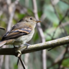 Lathrotriccus euleri<br /> Enferrujado<br /> Euler's Flycatcher<br /> Mosqueta parda