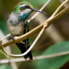 Chlorostilbon lucidus<br /> Besourinho-de-bico-vermelho fêmea<br /> Glittering-bellied Emerald female<br /> Picaflor verde - Mainumby hovyû