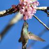 Amazilia versicolor<br /> Beija-flor-de-banda-branca<br /> Versicolored Emerald<br /> Picaflor esmeralda - Mainumby