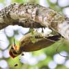 Piculus aurulentus<br /> Pica-pau-dourado<br /> Yellow-browed Woodpecker<br /> Carpintero verde - Ypekû hovy