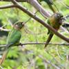 Pyrrhura frontalis<br /> Tiriba-de-testa-vermelha<br /> Maroon-bellied Parakeet<br /> Chiripepé cabeza verde - Arivaja