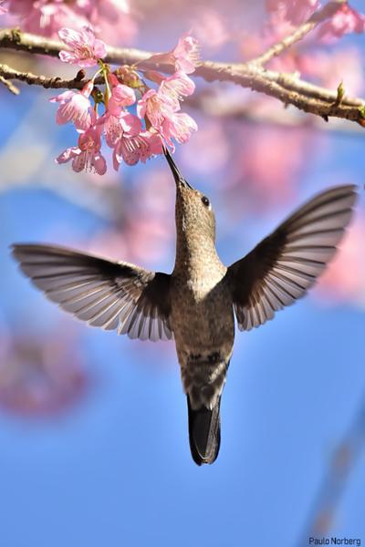 Aphantochroa cirrochloris<br /> Beija-flor-cinza<br /> Sombre Hummingbird<br /> Colibrí apagado