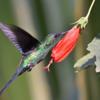 Thalurania glaucopis<br /> Beija-flor-de-fronte-violeta<br /> Violet-capped Woodnymph<br /> Picaflor corona violácea - Mainumby