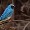 Tersina viridis<br /> Saí-andorinha<br /> Swallow Tanager<br /> Tersina - Piririguitî