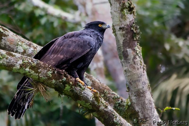 Spizaetus tyrannus<br /> Gavião-pega-macaco<br /> Black Hawk-Eagle<br /> Águila crestuda negra - Hu'i ruhutî