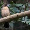 Lanio melanops<br /> Tié-de-topete fêmea<br /> Black-goggled Tanager female<br /> Frutero corona amarilla - Kasygua