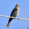 Molothrus bonariensis<br /> Vira-bosta imaturo<br /> Shiny Cowbird immature<br /> Tordo renegrido - Guyraû