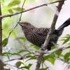 Mackenziaena leachii<br /> Borralhara-assobiadora fêmea<br /> Large-tailed Antshrike female<br /> Batará pintado - Chororo