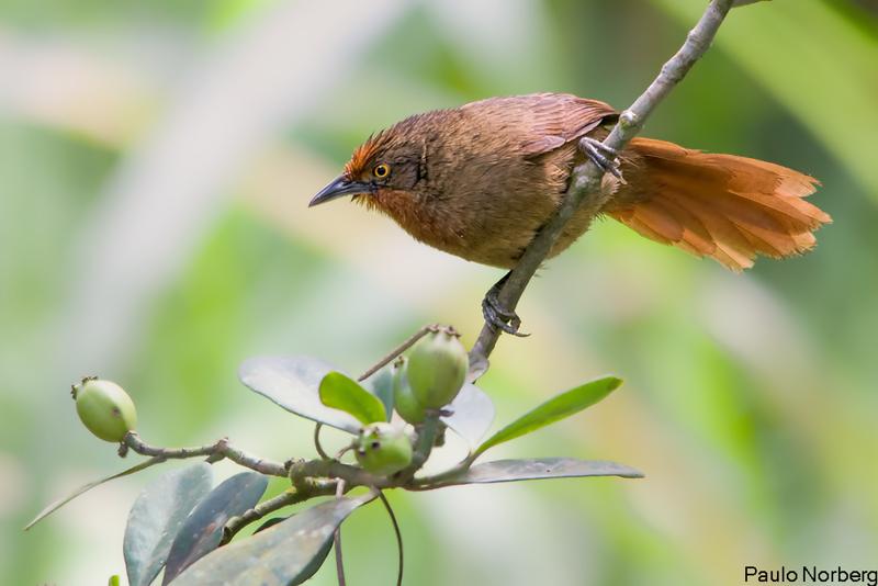 Phacellodomus erythrophthalmus<br /> João-botina-da-mata<br /> Orange-eyed Thornbird<br /> Espinero del bosque