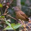 Tachyphonus coronatus<br /> Tié-preto fêmea<br /> Ruby-crowned Tanager female<br /> Frutero coronado - Mborevi ro'a