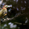 Selenidera maculirostris<br /> Araçari-poca fêmea<br /> Spot-billed Toucanet female<br /> Arasarí chico - Tukâ pôka