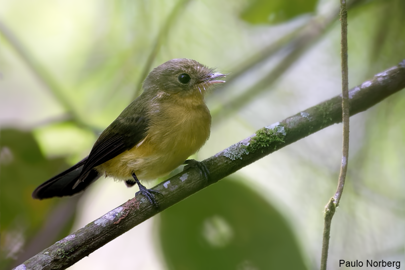 Myiobius atricaudus<br /> Assanhadinho-de-cauda-preta<br /> Black-tailed Flycatcher<br /> Moscareta colinegra