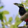 Selenidera maculirostris<br /> Araçari-poca<br /> Spot-billed Toucanet<br /> Arasarí chico - Tukâ pôka