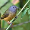 Mionectes rufiventris<br /> Abre-asa-de-cabeça-cinza<br /> Gray-hooded Flycatcher<br /> Ladrillito - Tachur