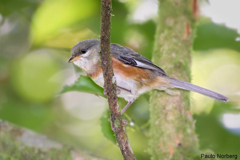Poospiza thoracica<br /> Peito-pinhão imaturo<br /> Bay-chested Warbling-Finch  immature<br /> Monterita pecho castaño