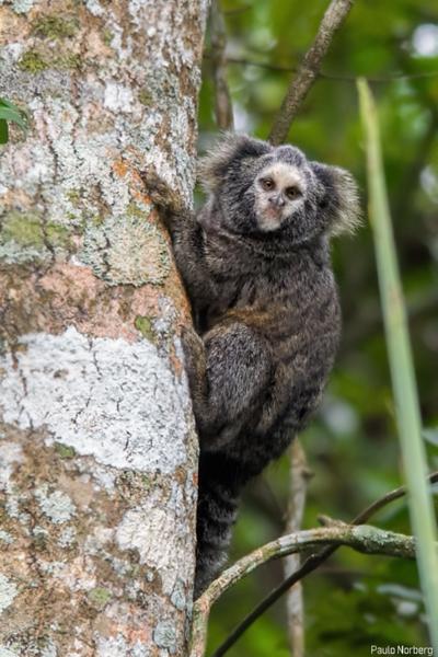 Callithrix aurita<br /> Sagui-da-serra-escuro<br /> Buffy-tufted marmoset<br /> Tití de orejas blancas
