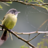 Tolmomyias sulphurescens<br /> Bico-chato-de-orelha-preta<br /> Yellow-olive Flycatcher<br /> Picochato grande - Guyra káva