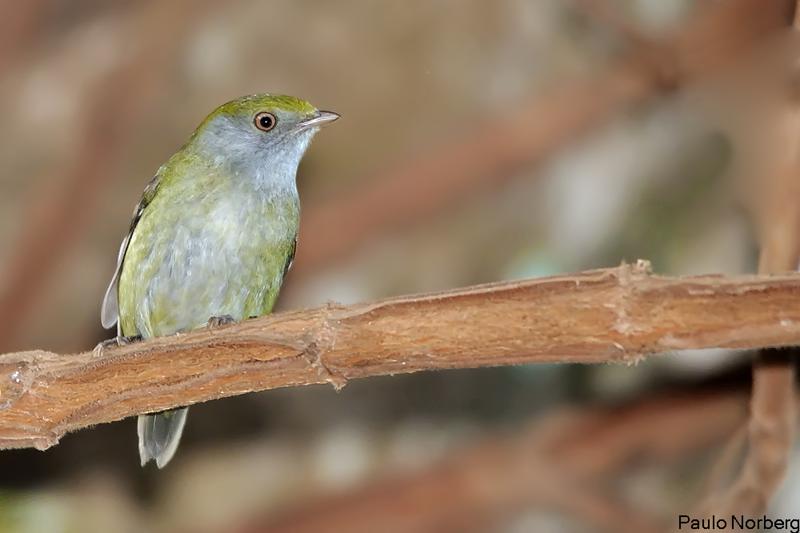 Ilicura militaris<br /> Tangarazinho fêmea<br /> Pin-tailed Manakin female<br /> Saltarín militar