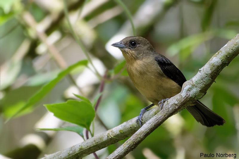 Trichothraupis melanops<br /> Tié-de-topete fêmea<br /> Black-goggled Tanager female<br /> Frutero corona amarilla - Kasygua