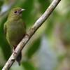 Chiroxiphia caudata<br /> Tangará dançarino fêmea<br /> Swallow-tailed Manakin female<br /> Bailarín azul - Saraki hovy