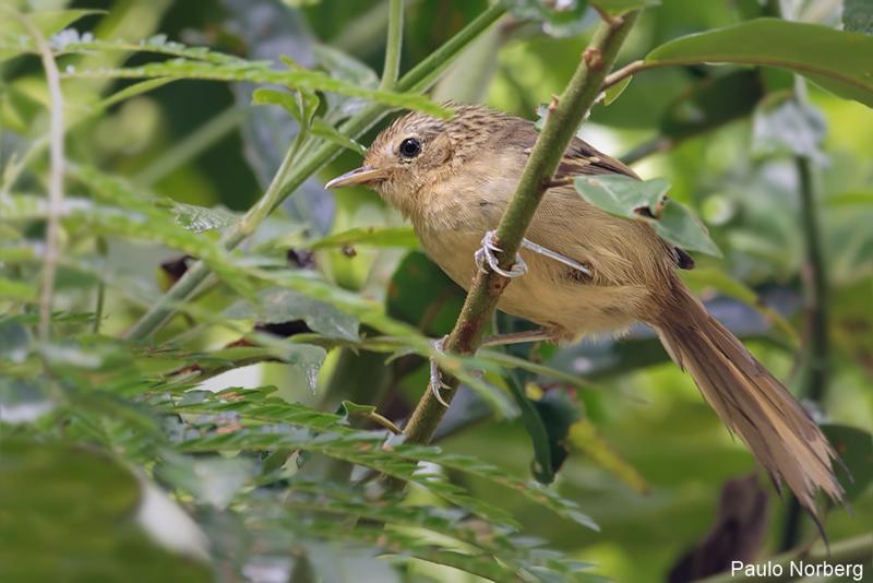 Drymophila malura<br /> Choquinha-carijó fêmea<br /> Dusky-tailed Antbird female<br /> Tiluchí estriado - Takuari