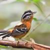 Drymophila ferruginea<br /> Trovoada<br /> Ferruginous Antbird<br /> Tiluchí colorado