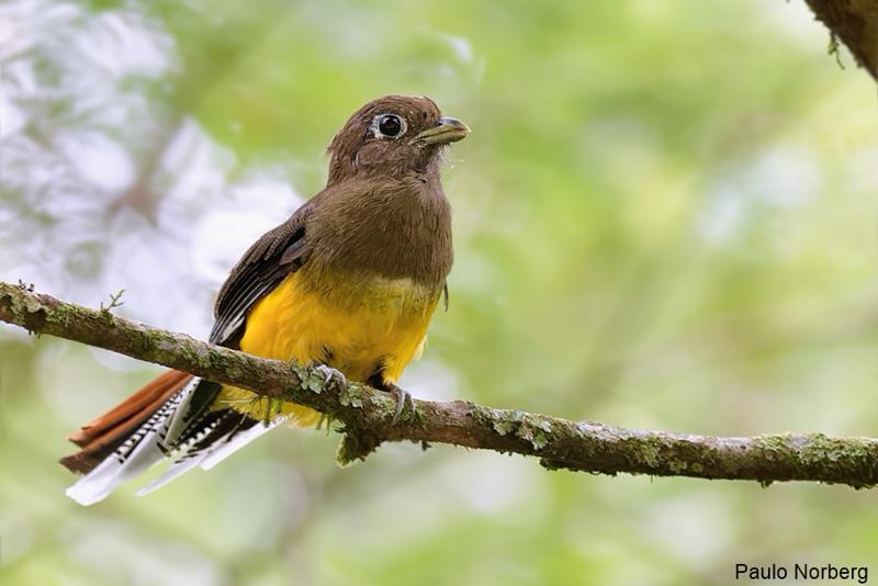 Trogon rufus<br /> Sucuruá-de-barriga-amarela fêmea<br /> Black-throated Trogon female<br /> Surucuá amarillo - Suruku'a sa'yju