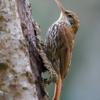 Lepidocolaptes squamatus<br /> Arapaçu-escamado<br /> Scaled Woodcreeper<br /> Chinchero escamado