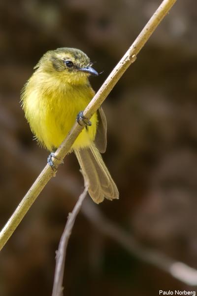 Capsiempis flaveola<br /> Marianinha-amarela<br /> Yellow Tyrannulet<br /> Mosqueta ceja amarilla - Karichu