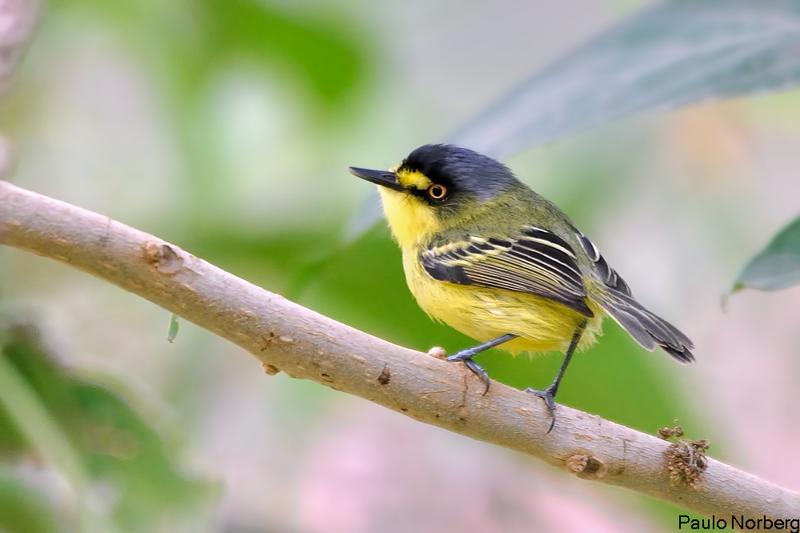 Todirostrum poliocephalum<br /> Teque-teque<br /> Yellow-lored Tody-Flycatcher<br /> Titirijí fronte amarilla