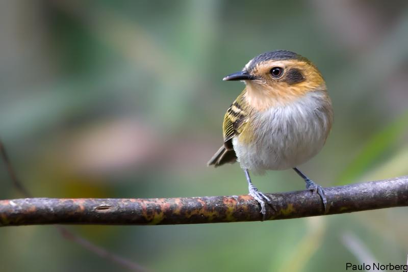 Poecilotriccus plumbeiceps<br /> Tororó<br /> Ochre-faced Tody-Flycatcher<br /> Mosqueta cabeza canela - Tôrôrô