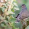 Leptotila verreauxi<br /> Juriti-pupu<br /> White-tipped Dove<br /> Yerutí - Jeruti