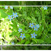 Forget-me-nots - 2014