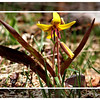 Yellow Trout Lily - 2011