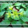 Blue-bead Lily - 2014