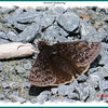 Juvenal's Duskywing - May 26, 2013 - Dartmouth, NS