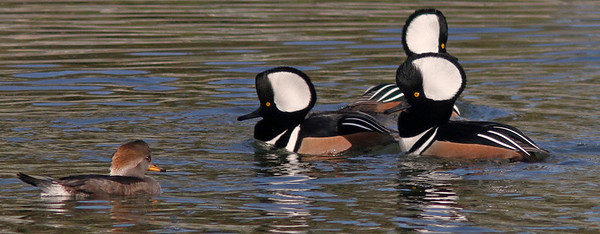 Hooded Mergansers, Radio Road/Redwood Shores Channel