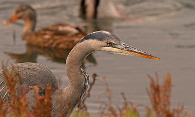 Great Blue, Radio Road/ Redwood Shores Channel