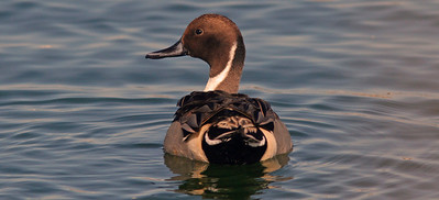 Northern Pintail, Radio Road