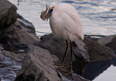 Snowy Egret with Thanksgiving Dinner